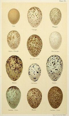 Print on A4 - H Seebohm - Coloured Figures of the Eggs of British Birds 306