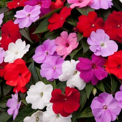 Impatiens/ Busy Lizzies Seeds -F1 Mix Double Flowers For Shade