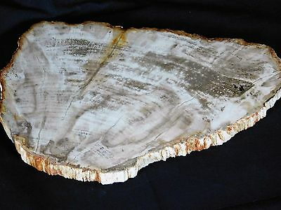 """6) Large Petrified Fossil  Wood Plate / Table Centerpiece Great Gift Art 13"""""""