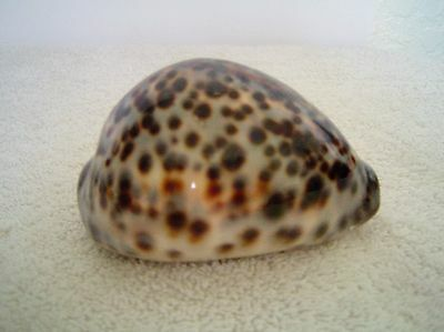 Spotted Cowrie Seashell