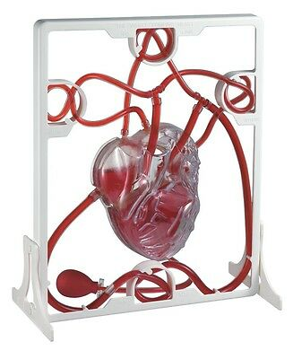 Pumping Heart Anatomical Model By Top Quality Brand BASCO , Free DHL shipping