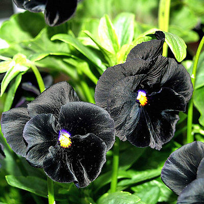 Flower Pansy Clear Crystal Black Viola Wittrockiana -  300 Seeds