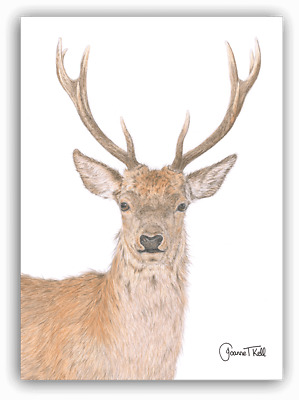 RED DEER STAG WILDLIFE GREETING CARD-From Pencil Drawing By Artist Joanne T Kell