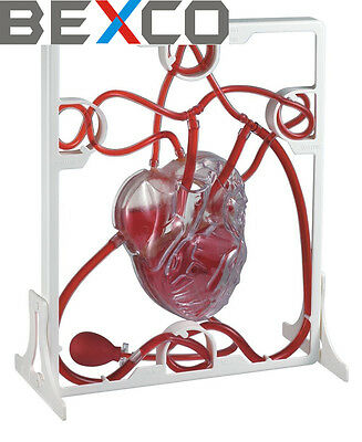 Pumping Heart Anatomical Model, Top Quality By BASCO Brand, Free DHL Shipping