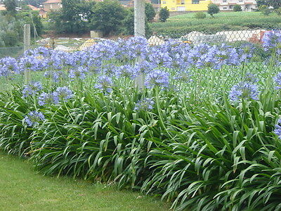 AGAPANTHUS BLUE.  20 X PLANTS Large Growing Variety