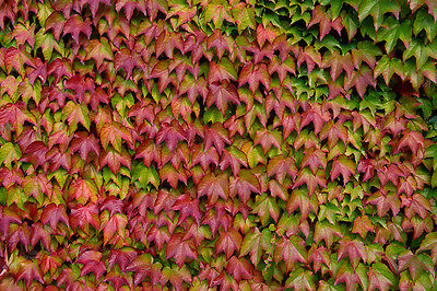 Boston Ivy - Parthenocissus Tricuspidata - 25 seeds - Climbing Shrub -Ornamental