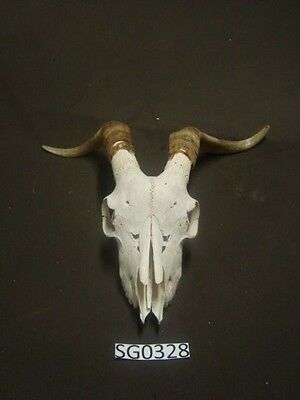 Goat skull outdoors rustic hill country SG0328