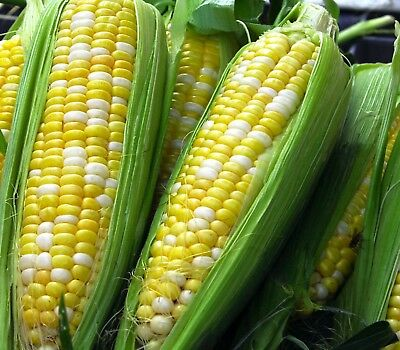 SWEET CORN 'bicolour fresh seeds 20 VEGETABLE SEEDS