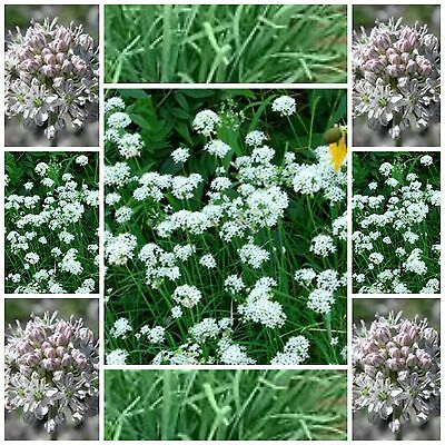 Garlic Chives 200 seeds herb garden seeds