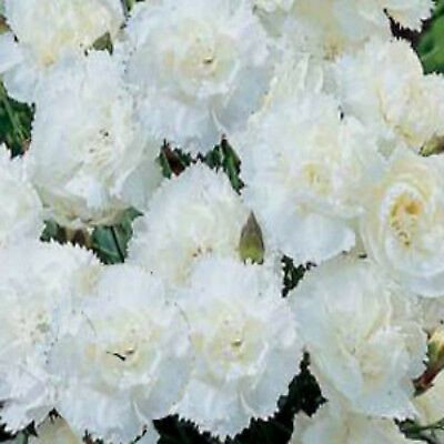 CARNATION seeds Double Grenadin White100 flower garden Seeds FRAGRANT CUT FLOWER