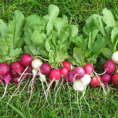 RADISH EASTER EGG 100 vegetable seeds easy to grow GREAT for pots & small areas