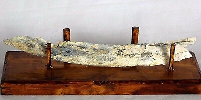 11) Woolly Mammoth Large Genuine Fossil Tusk Specimen + Stand  UK Ice Age Gift