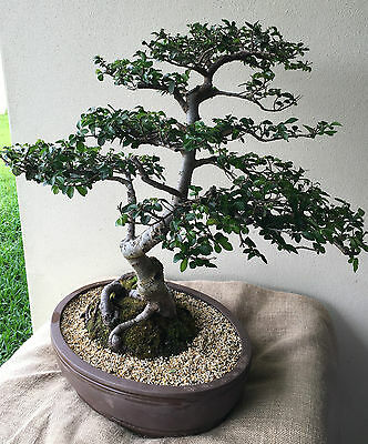 Chinese Elm Bonsai - One of a kind!