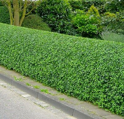 Common Privet - Ligustrum Vulgare - 25 seeds -  Shrub - Hedging - Bonsai
