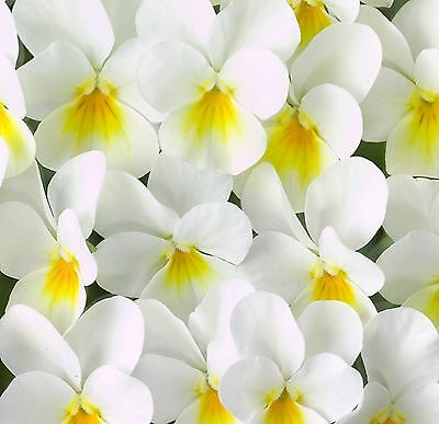 40  Winter Flowering Trailing Viola White Yellow Eye Basket Plant Plugs