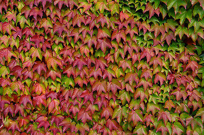 Boston Ivy - Parthenocissus Tricuspidata - 50 seeds - Climbing Shrub -Ornamental