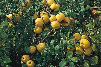 Japanese/Dwarf Quince - Chaenomeles Japonica -25 seeds - Fruiting Shrub - Bonsai