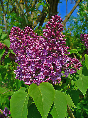 Lilac - Syringa Vulgaris - 25 Seeds -  Hedging - Shrub - Tree