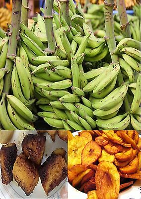 5 Plantain Banana Seeds -SWEET GREEN COOKING BANANA