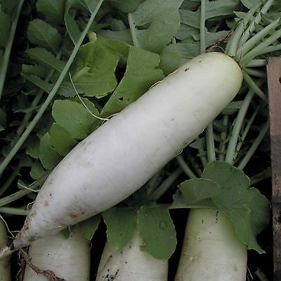 Organic Vegetable  Radish (Japanese)  Mooli Minowase  1000 Seeds