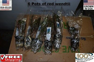 6 Pots of Red crypt Wendtii plants Easy Aquarium aquascaping planted tank easy