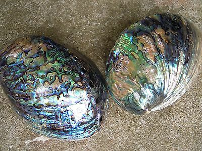 Natural Abalone Shell (polished Exterior) Mother of Pearl Sea-Shells , Smudging