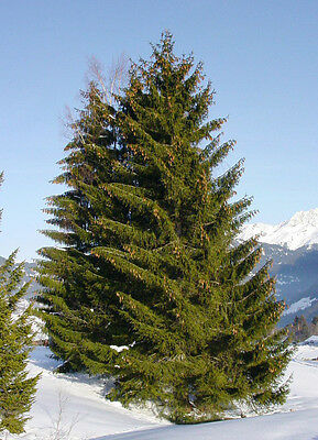 Norway Spruce - Picea Abies - 25 seeds - Christmas Tree - Bonsai