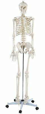 Life Size Human Skeleton Model Anatomical Anatomy Medical Stand Joint Quality
