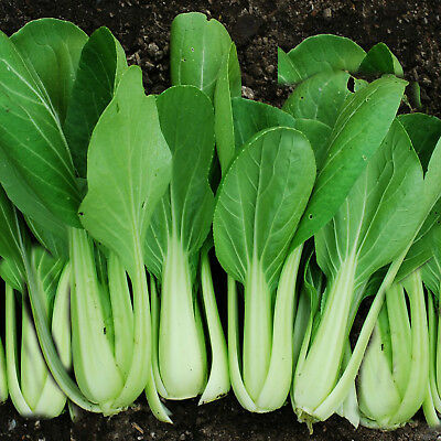 Pak Choi Choko Green 150 seeds asian greens seeds vegetables