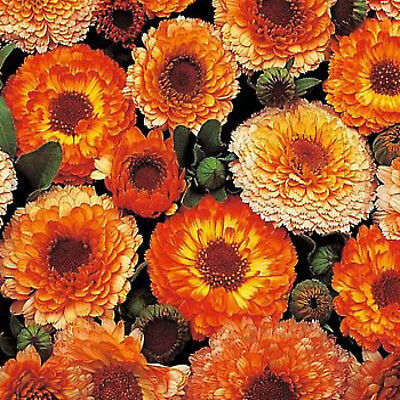 "CALENDULA ""pink surprise mix"" 30 SEEDS  WINTER POT MARIGOLD EDIBLE FLOWERS"