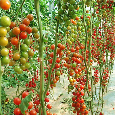 10x Huge Tomato Tree Seed Delicious Fruits Vegetables Plant Organic Seed