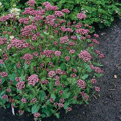 Herb Seeds - Valerian Red - 100 Seeds
