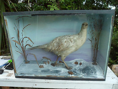 Antique turn of the century Taxidermy mottled hen pheasant in glazed case