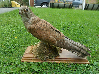 Vintage pre 1947 taxidermy of a mounted kestrel, beautiful specimen