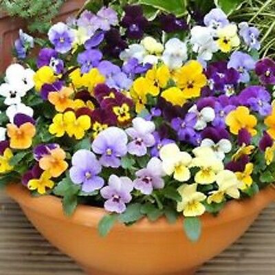 40 Winter Flowering Viola F1 Select  Mixed Bedding Patio Plug plants