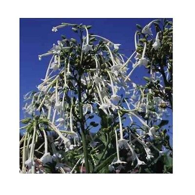 Nicotiana sylvestria 'Only the Lonely ' / White fragranced flowers / 3000 Seeds