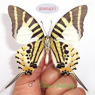 unmounted butterfly papilionidae Pathysa antiphates CHINA GUANGXI A1