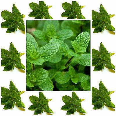 MINT SEEDS Spearmint *100 seeds * herb seed not for WA or TAS