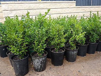 English Box Plants, $3.50 each! 50 Buxus Hedges, approx 25cm tall in 6 inch pots