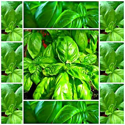 Basil Large Sweet Italian * 250 seeds *herb seed edible not for WA or TAS