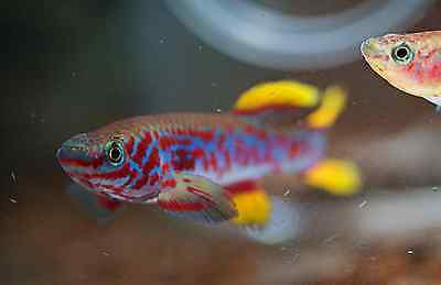Steel Blue Lyretail Longfin Killifish -  20 hand picked eggs NEXT DAY DELIVERY