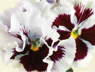 40 Winter Flowering Pansy Frilly Sizzle White Blotch  Bedding Patio Plug plants