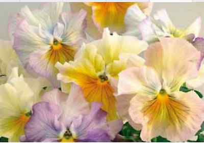40 Winter Flowering Pansy Frilly Sizzle Pastel Shades Bedding Patio Plug plants
