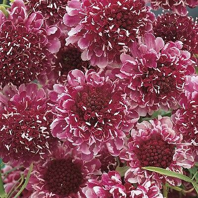 Scabious 'Beaujolais Bonnets' / Hardy Perennial / 50 Seeds