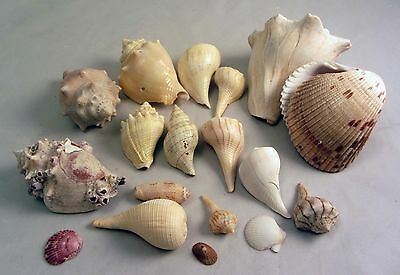 18 NC  Florida Fighting Conch Whelk Scallop Olive Fig Sea Shell Aquarium Crafts