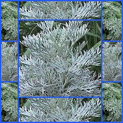 wormwood artimesia 2000 herb ornamental seeds not for W.A or TAS