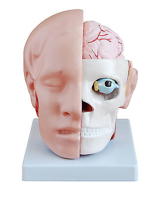 Head with Brain - Life-Size Anatomy Model with removable Brain