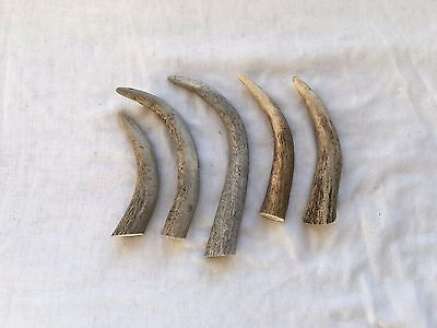 5 Curved Deer Antler Tips, Jewellery Making Crafts Bushcraft LARP Taxidermy