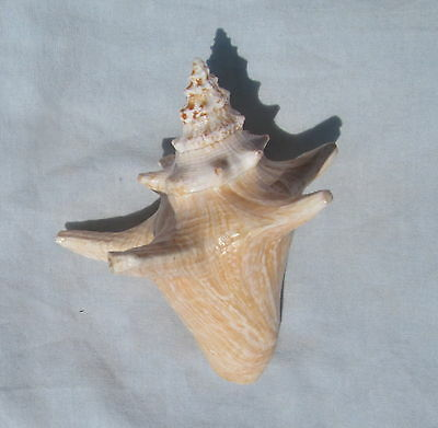 Strombus gigas 130mm   Long spined Juvinile  Seashell