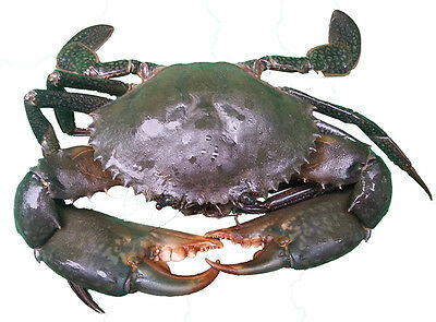 Live Nsw Female Mud Crab For Sale!!